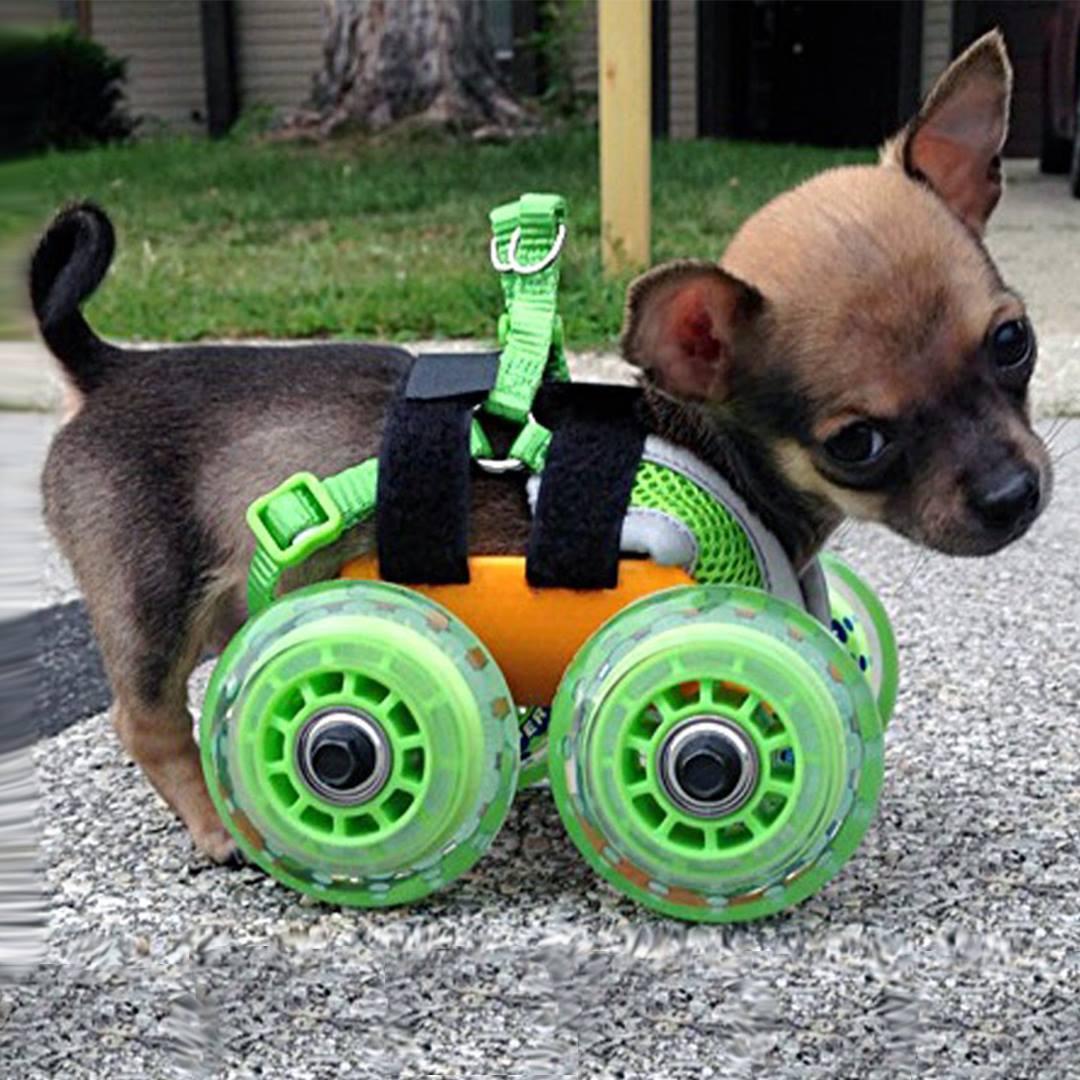 Cachorro com deficiência ganha cadeira de rodas diferenciada